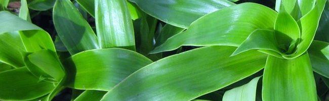 Thực hư lá lược vàng chữa trị bệnh trĩ