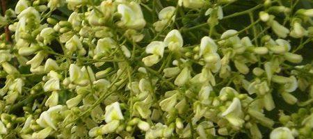 Điều trị bệnh trĩ bằng hoa hòe